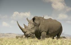 Drawn rhino battle