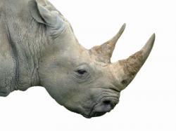 Drawn rhino horn rhino