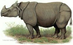 Drawn rhino javan rhino