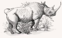 Drawn rhino white rhino