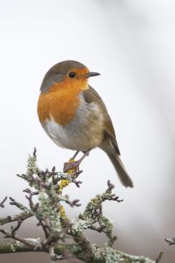 Wren clipart red robin
