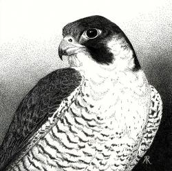 Drawn falcon hawk head