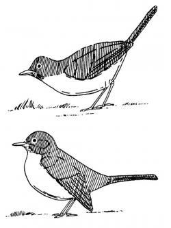 Drawn bird washington state bird