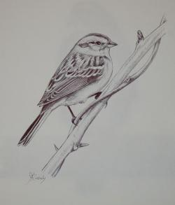 Drawn sparrow sketch