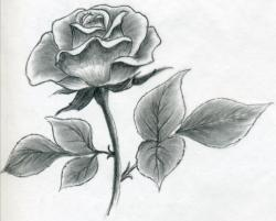 Drawn rose