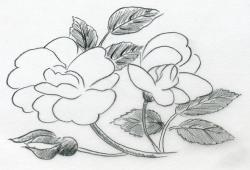 Drawn rose contrast