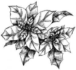 Drawn plant poinsettia