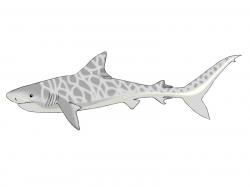 Drawn tiger shark tigar
