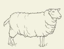 Drawn lamb mammal
