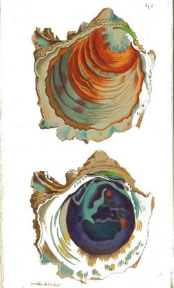 Drawn shell oyster shell