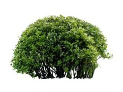 Drawn shrub green bush