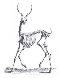 Drawn dear gazelle