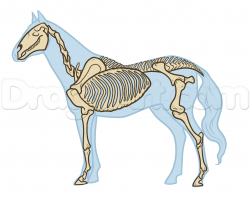 Drawn horse horse anatomy