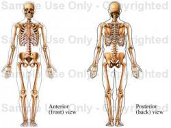 Drawn sleleton male skeleton