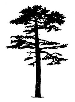 Drawn fir tree scots pine