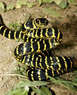 Drawn snake rear fanged