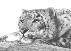 Drawn leopard wildlife