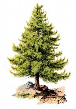 Drawn fir tree holly tree