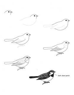 Drawn robin sparrow