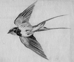 Drawn swallow bird landing