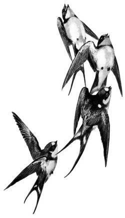 Drawn swallow interesting