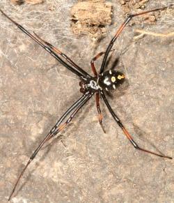 Drawn spider northern
