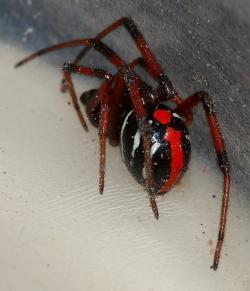 Drawn arachnid northern