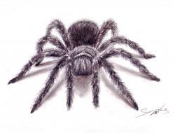 Drawn spider tarantula