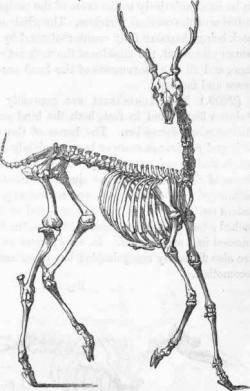 Drawn stag gazelle