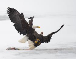 Drawn steller's sea eagle california