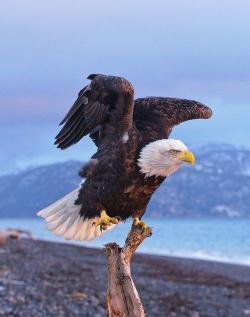 Drawn white-tailed eagle california