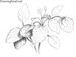 Drawn strawberry berry