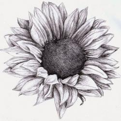 Drawn sunflower