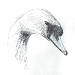Drawn swan pencil sketch