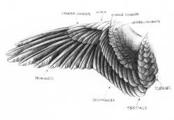 Drawn falcon pegasus wings