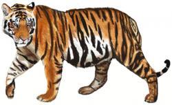 Drawn tiger