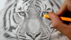 Drawn tigres