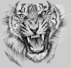 Drawn tiiger angry tiger
