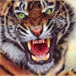 Drawn tigres angry tiger