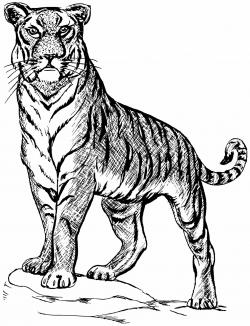 Drawn tigres tiger line