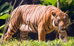 Drawn tigres malayan tiger
