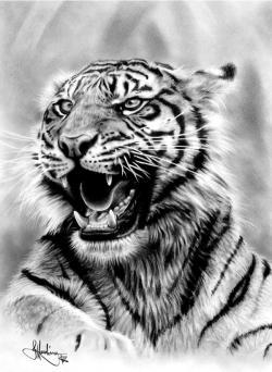 Drawn tiiger realistic
