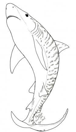 Drawn tiger shark arctic