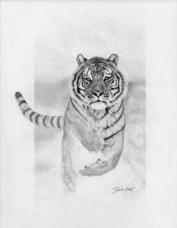 Drawn tiiger snow tiger