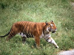 Drawn tiiger south china tiger