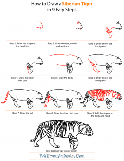 Drawn tigres step by step