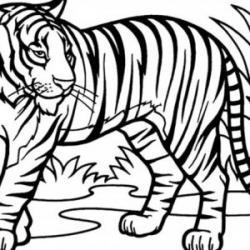 Drawn tiiger sumatran tiger