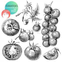 Drawn tomato vintage