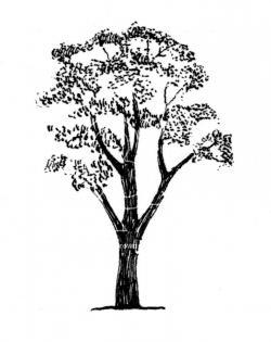 Eucalyptus clipart gum tree
