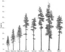 Drawn fir tree oregon